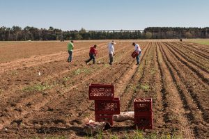 4 people planting potatoes in a field