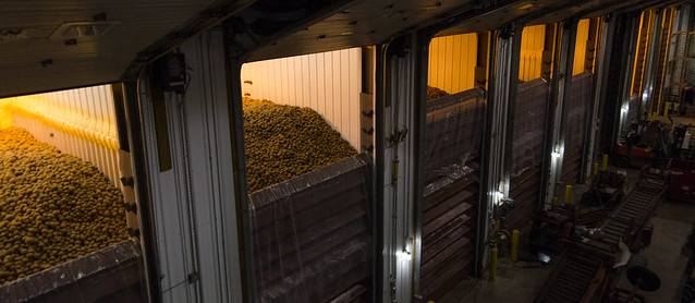potatoes piled high in large bins